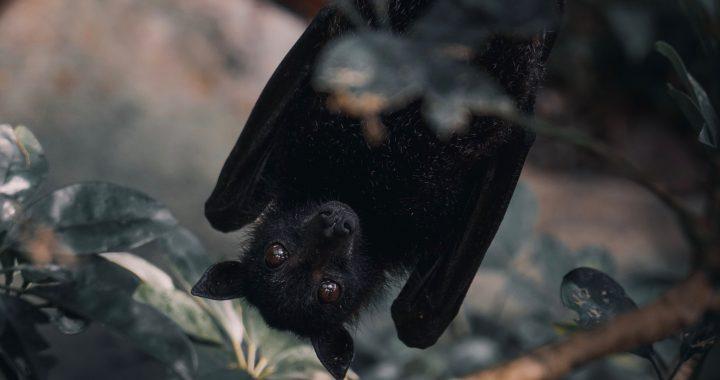 Pipistrelli e virus: il fenomeno dello Spillover