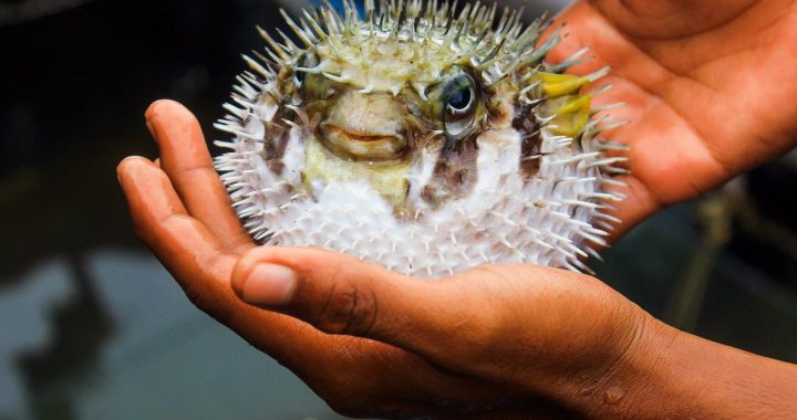 Passioni pericolose: il Fugu